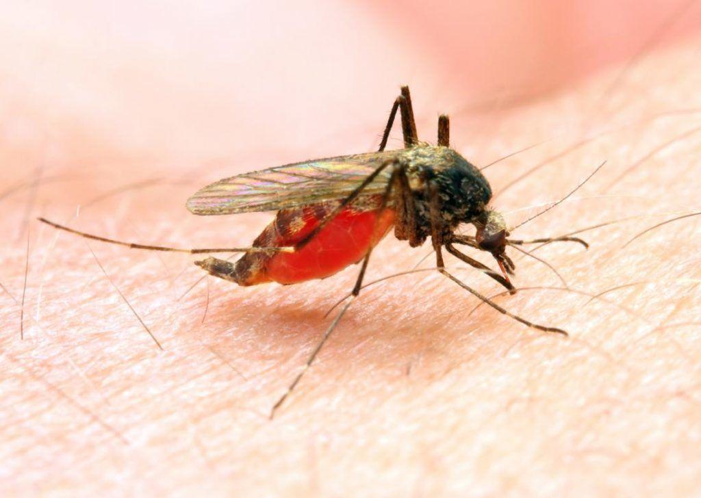 تنتقل الملاريا بواسطة بعوضة الأنوفيليس