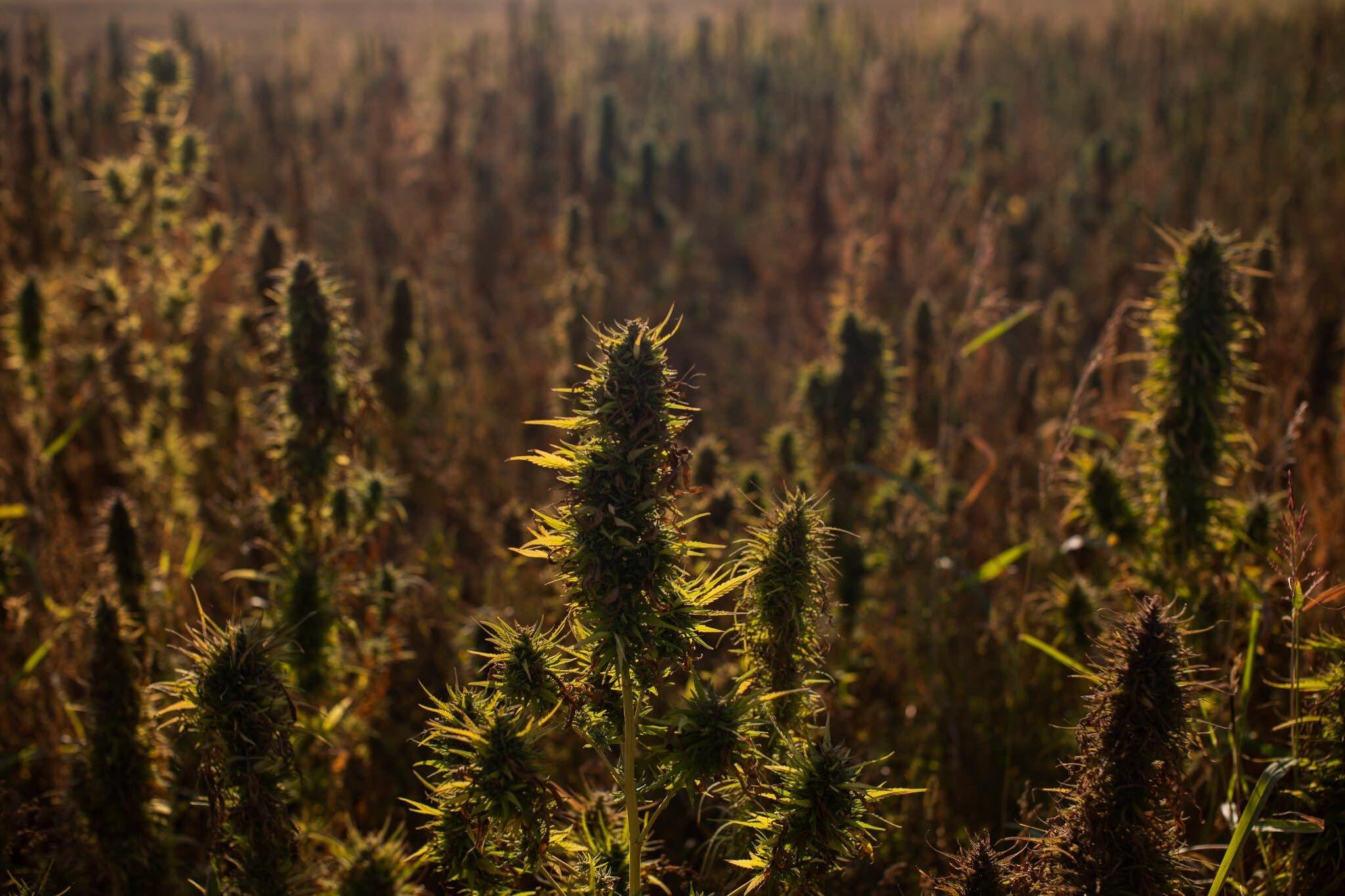 من مزارع الحشيش في البقاع اللبناني