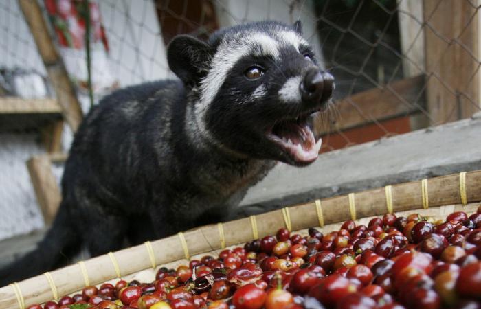 بالصور.. تعرف على القهوة الأغلى ثمنا المستخرجة من فضلات حيوان الزباد!