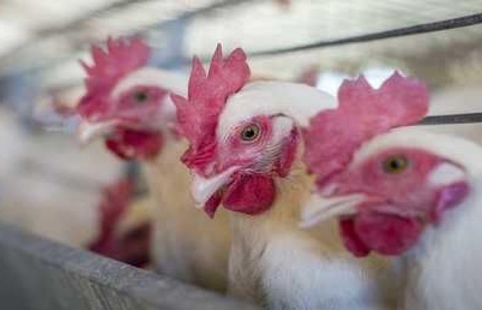 """مترجم لـ """"لغة الدجاج""""!"""