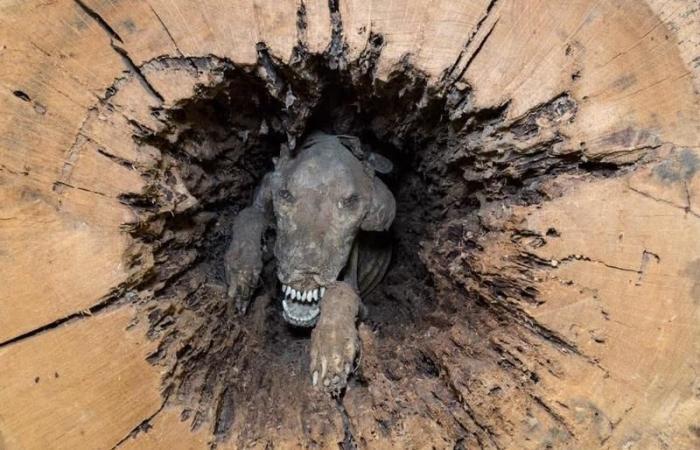 بالصور… كلب علق في جوف شجرة منذ 60 عاماً ولم يتحلل!