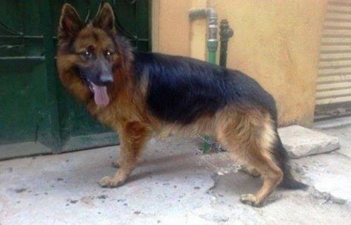"""في لبنان.. كلاب تُدرب على الشراسة بإطعامها """"جراء وقطط""""!"""