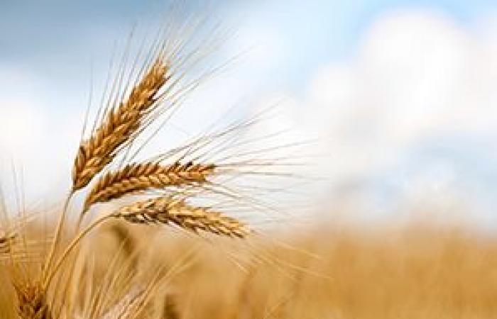 ارتفاع أسعار القمح للأعلى لها في سبعة أشهر متغاضية عن توالي ارتداد مؤشر الدولار من الأدنى له في 38 شهراً
