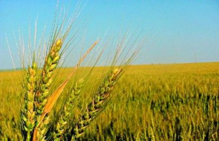 مزارعو القمح في إيعات طالبوا بتعويضعهم مواسم الحبوب جراء الجفاف