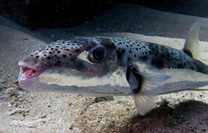 """""""الصحة"""" تجدد التحذير من خطر تناول وإصطياد سمكة النفيخة السامة Lagocephalus spadiceus"""