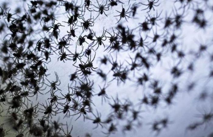 في البرازيل… السماء أمطرت عناكب