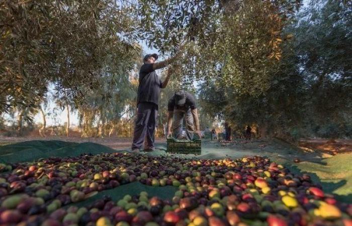 الخليح | سعودي يحول بقايا الزيتون إلى حطب لعشاق البراري