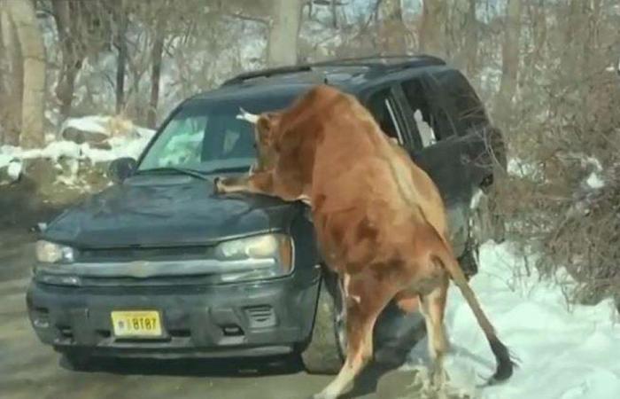 ثور يهاجم مالكته في نيوجرسي