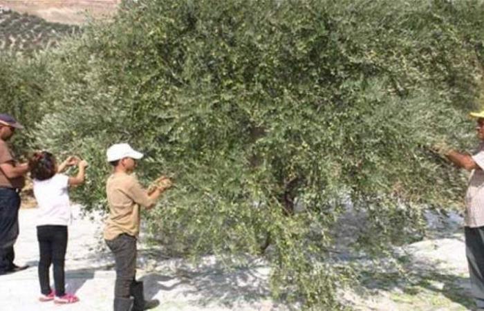 مرض يصيب أشجار الزيتون في لبنان.. !