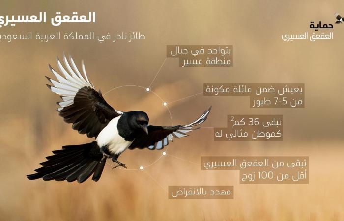 الخليح   طائر موطنه جنوب السعودية.. ماذا تعرف عن العقعق العسيري؟