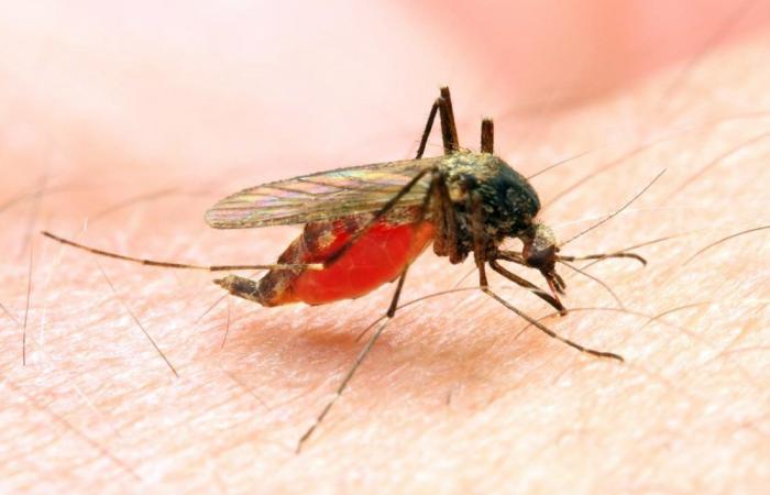 الملاريا أو البرداء