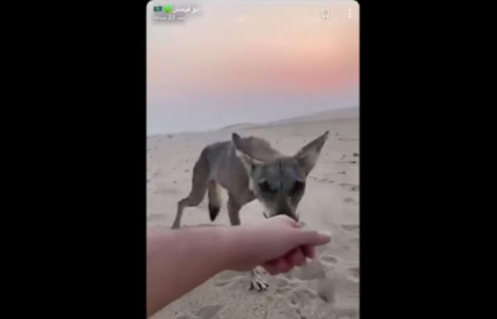 سعودي صادف ذئباً يهيم عطشاً.. شاهد ما حدث حتى النهاية