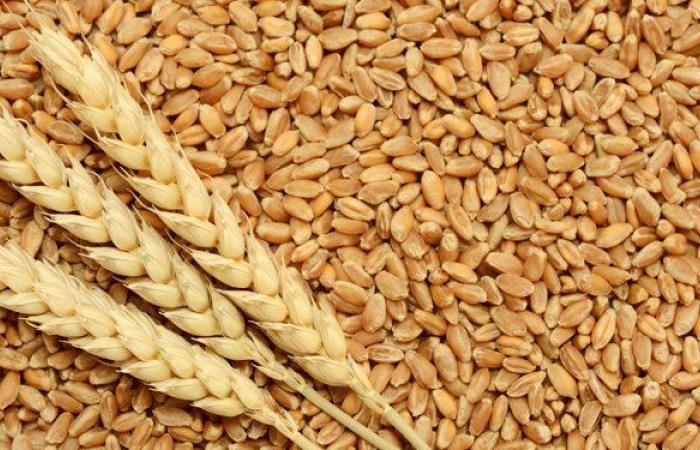 مزارعو القمح في البقاع شكروا للمسؤولين التعويض عليهم
