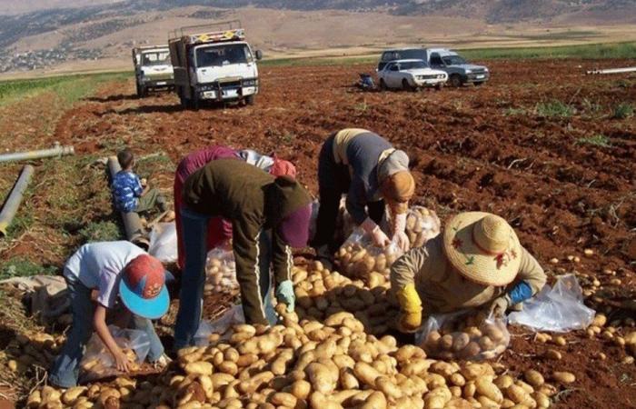 تجمع مزارعي البقاع: لتوفير اعتمادات بالدولار لشراء بذار البطاطا