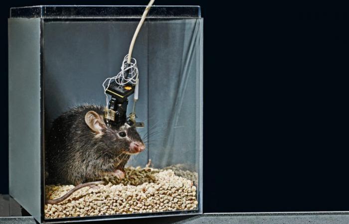 لماذا لا تنجح الدراسات المجراة على أدمغة الفئران في إعطاء فهم أفضل للدماغ البشري؟