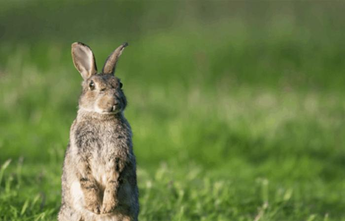 'إيبولا الأرنب' .. فيروس أرانب مميت ينتشر بسرعة في الولايات المتحدة!