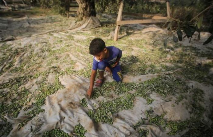 تراجع إنتاج الزيتون في غزة