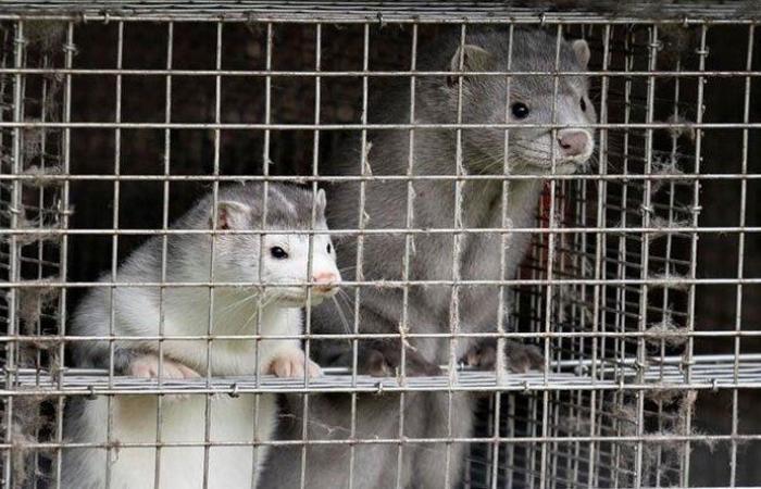 """تحتوي شكلاً جديداً من """"كورونا""""… الدنمارك تقتل حيوانات المنك"""