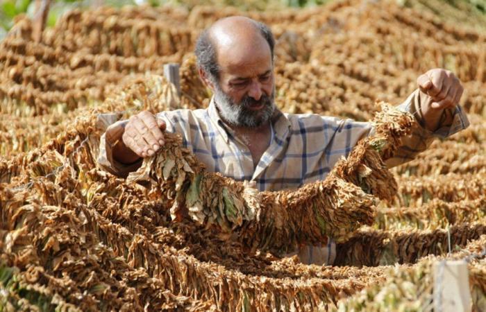 نقابة مزارعي التبغ في الشمال أوضحت إجراء تصنيف المزارعين