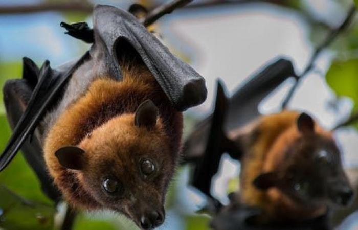 خفافيش الفاكهة وراء ذعر جديد أخطر من كورونا