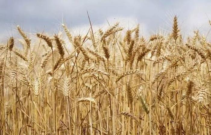 لأول مرة.. روسيا تضع معادلة لضريبة تصدير القمح من 2 يونيو
