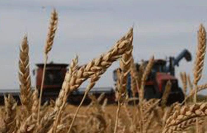 تحذير إلى مزارعي القمح: هذه الحشرة تؤذي الحقول!