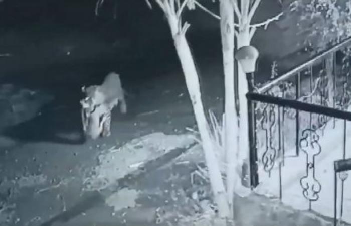 فهد يخطف كلبا نائما أمام منزل! (فيديو)