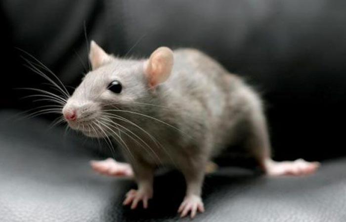 فأر يقتحم جلسة برلمان ويثير الفوضى (فيديو)