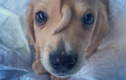 """كلب بـ""""ذيل"""" على وجهه.. وصورة الأشعة تكشف السر"""